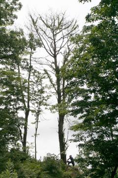 アカ松の伐採